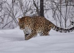 amur-leopard-copyright-photographers-on-safari-com-7447