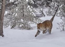 amur-leopard-copyright-photographers-on-safari-com-7449