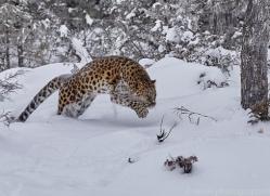 amur-leopard-copyright-photographers-on-safari-com-7454