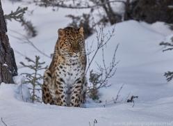 amur-leopard-copyright-photographers-on-safari-com-7457