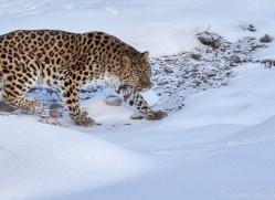 amur-leopard-copyright-photographers-on-safari-com-7459