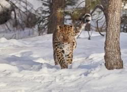 amur-leopard-copyright-photographers-on-safari-com-7466