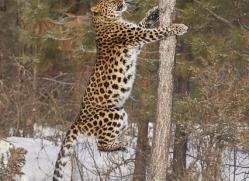 amur-leopard-copyright-photographers-on-safari-com-7469