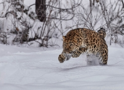 amur-leopard-copyright-photographers-on-safari-com-7440