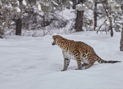 amur-leopard-copyright-photographers-on-safari-com-7444