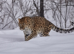 amur-leopard-copyright-photographers-on-safari-com-7447