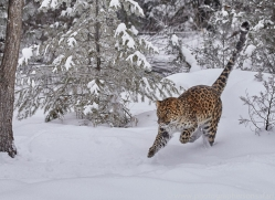 amur-leopard-copyright-photographers-on-safari-com-7449