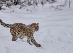 amur-leopard-copyright-photographers-on-safari-com-7452