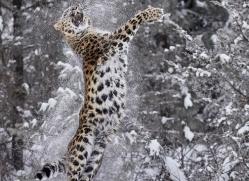 amur-leopard-copyright-photographers-on-safari-com-7453