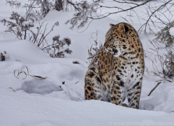 amur-leopard-copyright-photographers-on-safari-com-7455