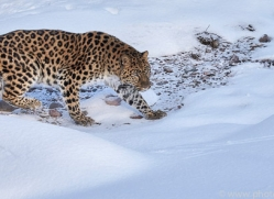 amur-leopard-copyright-photographers-on-safari-com-7459
