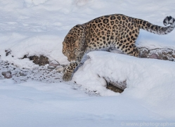 amur-leopard-copyright-photographers-on-safari-com-7460