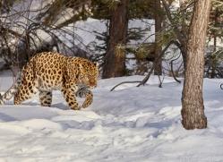 amur-leopard-copyright-photographers-on-safari-com-7464