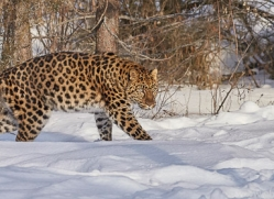 amur-leopard-copyright-photographers-on-safari-com-7472