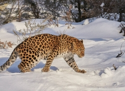 amur-leopard-copyright-photographers-on-safari-com-7473