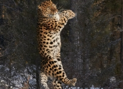 amur-leopard-copyright-photographers-on-safari-com-7475