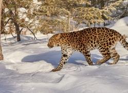 amur-leopard-copyright-photographers-on-safari-com-7476