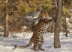 amur-leopard-copyright-photographers-on-safari-com-7478