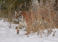 amur-tiger-copyright-photographers-on-safari-com-7480