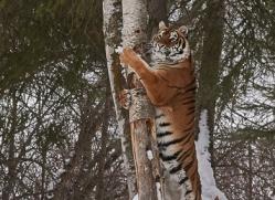 amur-tiger-copyright-photographers-on-safari-com-7482