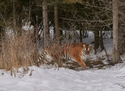 amur-tiger-copyright-photographers-on-safari-com-7484