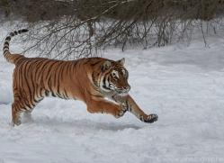 amur-tiger-copyright-photographers-on-safari-com-7486