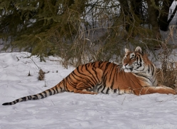 amur-tiger-copyright-photographers-on-safari-com-7487