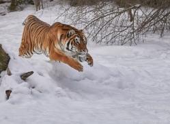 amur-tiger-copyright-photographers-on-safari-com-7488