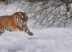 amur-tiger-copyright-photographers-on-safari-com-7489