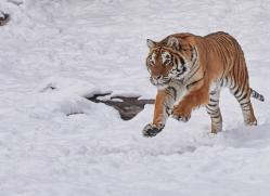 amur-tiger-copyright-photographers-on-safari-com-7490