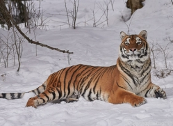 amur-tiger-copyright-photographers-on-safari-com-7492