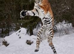 amur-tiger-copyright-photographers-on-safari-com-7493