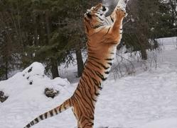 amur-tiger-copyright-photographers-on-safari-com-7494