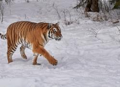 amur-tiger-copyright-photographers-on-safari-com-7497