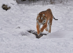 amur-tiger-copyright-photographers-on-safari-com-7498