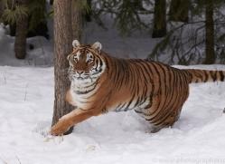 amur-tiger-copyright-photographers-on-safari-com-7499