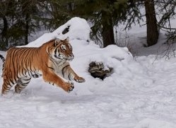 amur-tiger-copyright-photographers-on-safari-com-7500