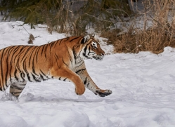 amur-tiger-copyright-photographers-on-safari-com-7501