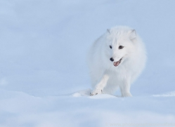 arctic-fox-copyright-photographers-on-safari-com-7502