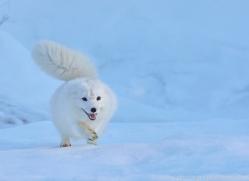 arctic-fox-copyright-photographers-on-safari-com-7503