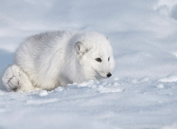 arctic-fox-copyright-photographers-on-safari-com-7504