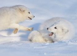 arctic-fox-copyright-photographers-on-safari-com-7505