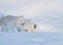 arctic-fox-copyright-photographers-on-safari-com-7506