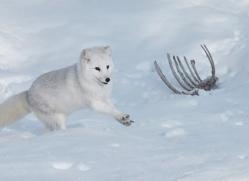 arctic-fox-copyright-photographers-on-safari-com-7507