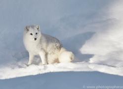arctic-fox-copyright-photographers-on-safari-com-7510