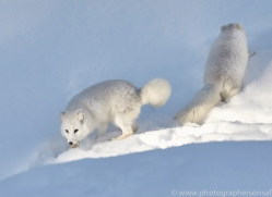 arctic-fox-copyright-photographers-on-safari-com-7511