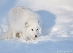 arctic-fox-copyright-photographers-on-safari-com-7512