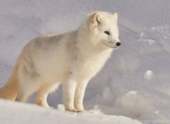 arctic-fox-copyright-photographers-on-safari-com-7514