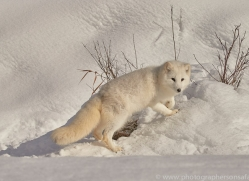 arctic-fox-copyright-photographers-on-safari-com-7516