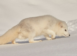 arctic-fox-copyright-photographers-on-safari-com-7517